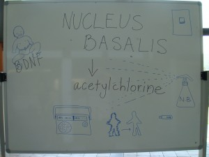 The function of nucleus basalis in the brain